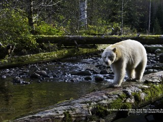 Spirit Bear, Kermode White, Great Bear Rainforest, British Columbia