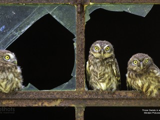 Three Owlets in a Barn Window