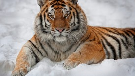 Tiger In Snow, Russia