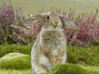 Young Lop Rabbit