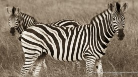 Zebras, Timbvati Game Reserve, Limpopo Province, South Africa