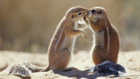 Affectionate Cape Ground Squirrels, South Africa