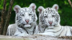 Benwa and Taboo White Bengal Tigers Nashville Zoo at Grassmere Tennessee