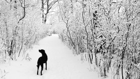 Black Lab on a Winter Walk