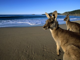 Eastern Grey Kangaroos on the Beach, Australia