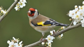 European Goldfinch Among Blackthorn Blossoms, England