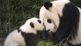 Giant Panda and Cub Playing, China