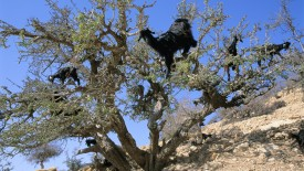 Goats in an Argan Tree, Moroccco
