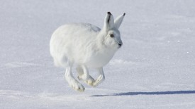 Hopping Arctic Hare Banks Island Canada
