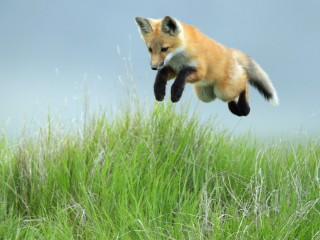 Leaping Red Fox Pup, Saskatchewan