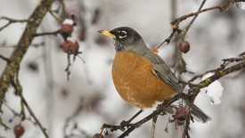 Male American Robin in Winter
