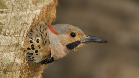 Male Northern Flicker, Florida