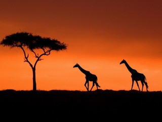 Masai Giraffe With an Acacia Tree at Sunset, Kenya