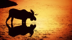 Moose in Silhouetted in the Snake River, Wyoming