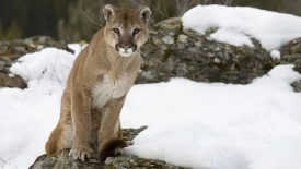 Mountain Lion on Alert, Montana