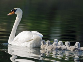 Mute Swan and Chicks