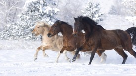 Norwegian Fjord Young Stallion, Paint Gelding and Bay Thoroughbred Gelding, Colorado