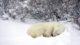Resting Polar Bear in snow, Hudson Bay, Churchill, Manitoba