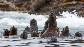 Steller Sea Lions, Queen Charlotte Islands, British Columbia