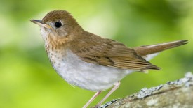 Veery Kingston Annapolis Valley Nova Scotia, Canada