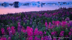 Fireweed and Icebergs, Lake Vitus, Alaska