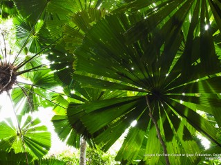 Licuala Fan Palm Forest at Cape Tribulation, Daintree National Park, Queensland, Australia