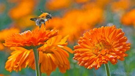 Bumble Bee and Gerbera Daisies