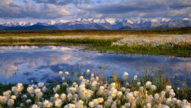 Cottongrass, Denali National Park, Alaska