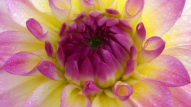 Pink, White and Yellow Dahlia