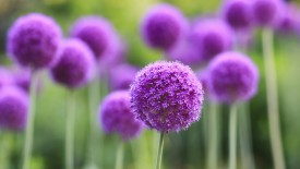 Purple Allium Flowers, Assiniboine Park, Winnipeg, Manitoba