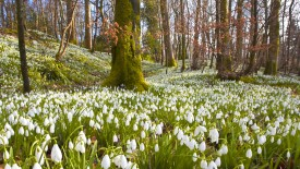 Snowdrops, Dumfries, Scotland
