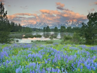 Wildflowers, Grand Teton National Park, Wyoming