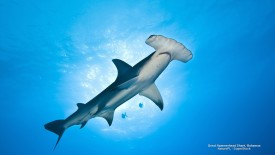 Great Hammerhead Shark, Bahamas