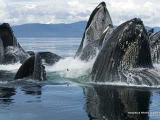Humpback Whales, Bubble Net Feeding, Alaska