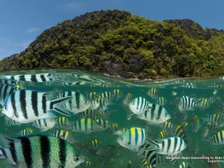 Sergeant Major Damselfish, El Nido Island, Palawan, Philippines