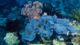 Small Giant Clam and Soft Coral, Australia
