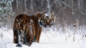Siberian Tiger In Snow, Russia